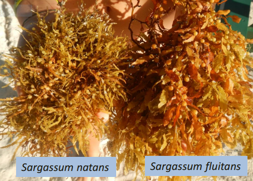 Sargassum species