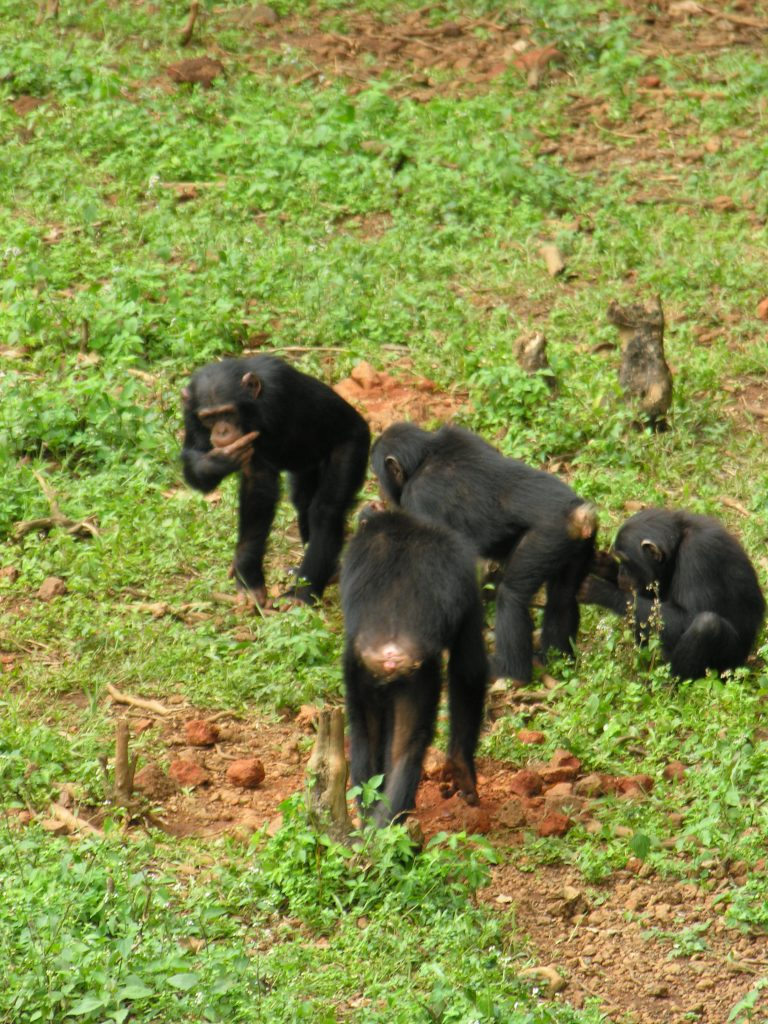 Iconic species Chimpanzee on mine site