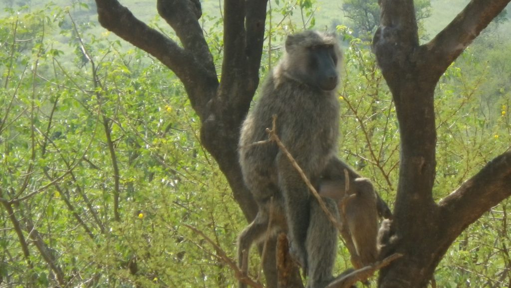 Road side Baboon