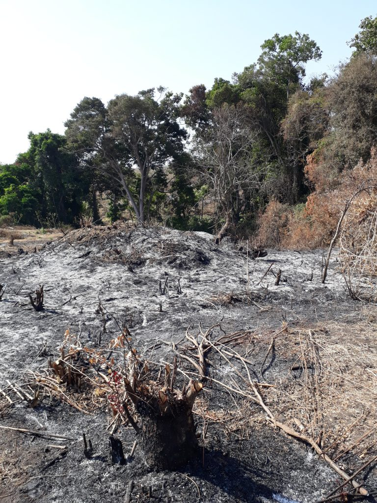 Forest clearance for charcoal in valuable Chimpanzee habitat Uganda