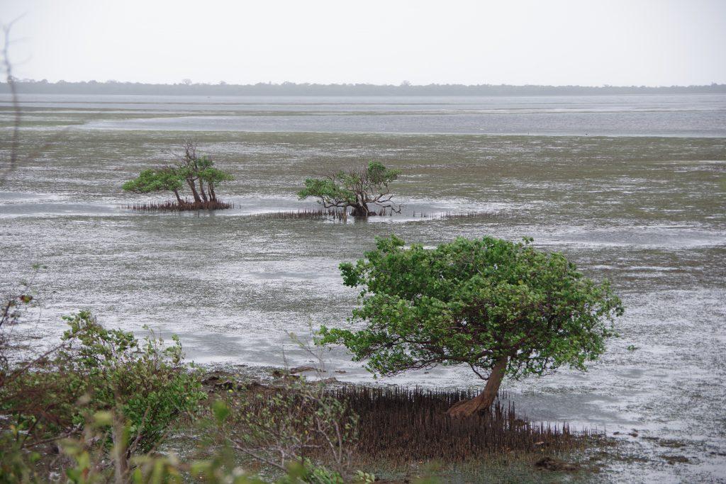 Mangrove Tanzania