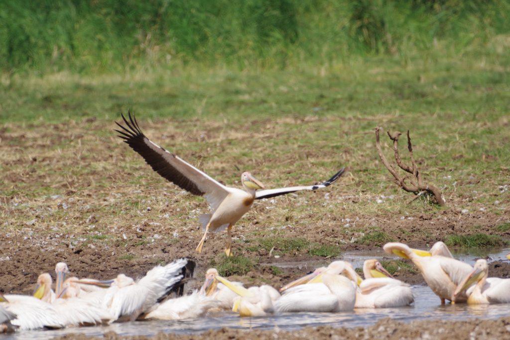 Incoming pelicans