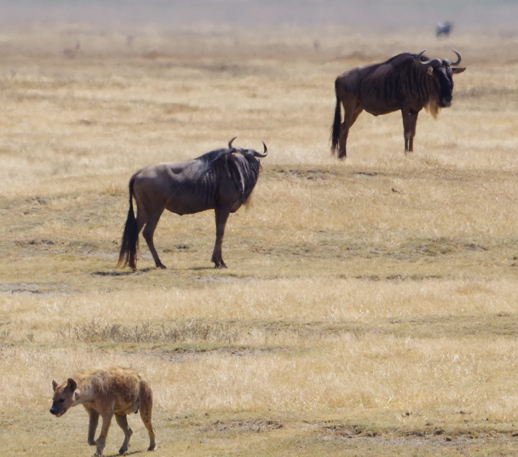 Hyena and Wilderbeest