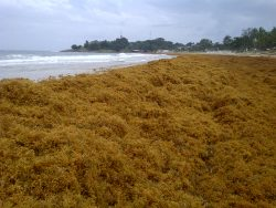 Sargassum blooms washed huge distances to West Africa