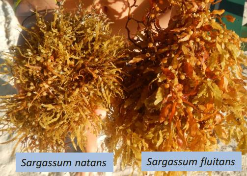 Sargassum species
