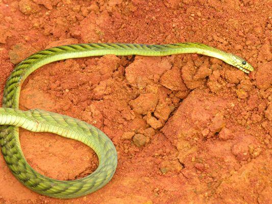 Green Mamba casualty